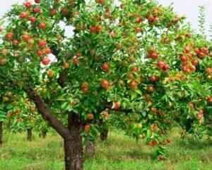 viseu-acolhe-dia-de-campo-dedicado-a-cultura-da-macieira